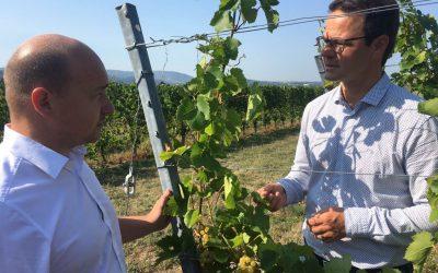 Beginn der Weinlese in Offenburg